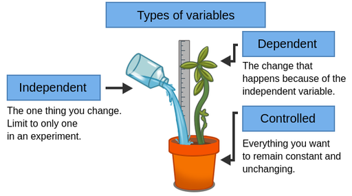 Diagram of variables in a drought experiment. A leafy plant grows in a pot, with a measuring stick being used to measure its growth. Liquid is being poured into the pot. The liquid is labelled as the independent variable, the thing that you manipulate in an experiment, and should be limited to one variable per experiment. The height of the plant is labelled as the dependent variable, the variable that depends on changes to the independent variable. The pot is labelled as a controlled variable, something that should remain constant and unchanging in the experiment.