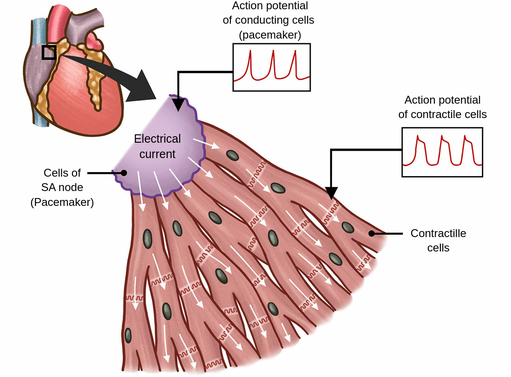 Type of cardiac muscle cells - Labster Theory