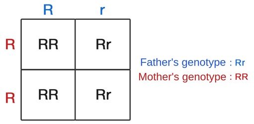 A punnett square depicting the genotypes of the possible offspring of a father with genotype capital r lowercase r, and a mother with genotype capital r capital r. The punnet square contains two columns and two rows. The columns are labelled with the father's genotype, so column 1 has a capital r and column two has a lowercase r. The rows are labelled with the mother's genotype, so row 1 and row 2 are both labeled with capital r. The table's contents are as follows: column 1, row 1: capital r capital r. Column 2, row 1: capital r lowercase r. column 1, row 2: capital r capital r. column 2, row 2: capital r, lowercase r.