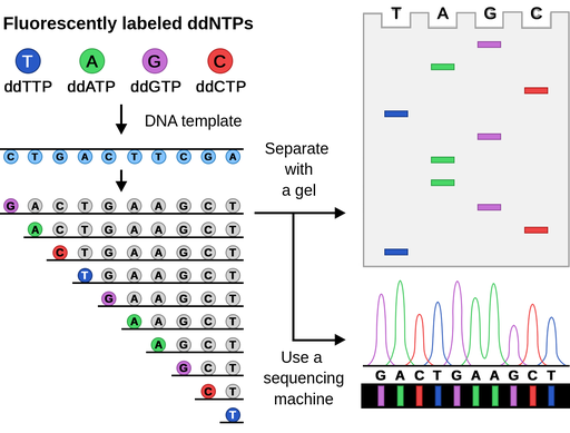 Top left corner of an image presents four spheres of different colors with four different letters inside of them, called Fluorescently labeled ddNTPs. Arrow down points toward a DNA template consisting of blue spheres in a row with four different letters inside. Another arrow points down toward rows of DNA sequences, each row has one base less than the upper one, with the last base on the left filled with a color, matching the colors of ddNTPs above. From these rows, one arrow points right to the grey, horizontal rectangle with four wells, each for one DNA base, and colored bands of various sizes, matching colors of ddNTPs. Another arrow from the rows points at the bottom right part of an image, showing a graph, where each peak indicates one DNA base.