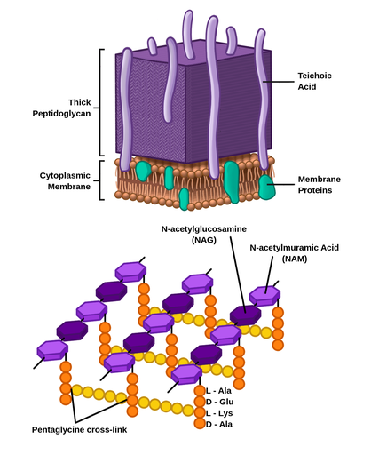 Cartoon at the top presents gram positive cell wall. At the bottom is the cytoplasmic membrane composed of a lipid bilayer and interjected with membrane proteins. Above the cytoplasmic membrane is a thick peptidoglycan that appears like a large purple cube interspersed with tall light purple tubes labelled as Teichoic acid and touch the cytoplasmic membrane. A cartoon at the bottom shows alternating dark and light purple hexagons connected in lines representing alternating N-acetylmuramic acid, or N A M, and N-acetylglycosamine, or N A G. Connected to each N A M is a vertical line of four small orange circles labelled L - A l a, D - G l u, L - L y s, D - A l a. Horizontally connecting these vertical chains is a line of 5 small yellow circles labelled the pentaglycine cross-link.