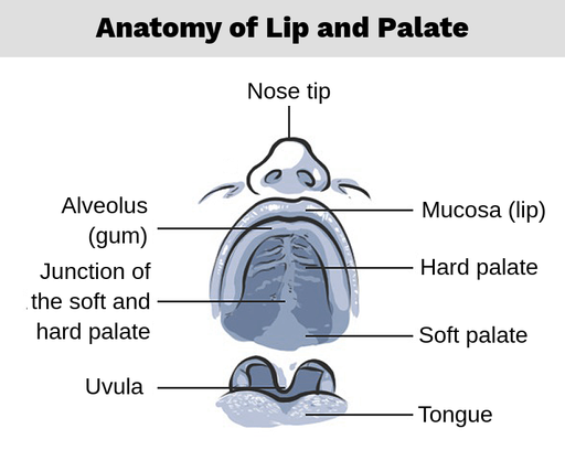Cleft Lip and Palate - Labster Theory