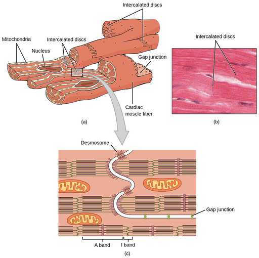 Cardiac Muscle Labster Theory
