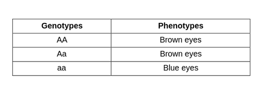 A table with two columns. The first column is labeled genotypes and the second column is labeled phenotypes. The first genotype is capital A. Capital A., The corresponding phenotype is brown eyes. The second genotype is capital A. Lowercase A., With phenotype brown eyes. The last genotype is lowercase A. lowercase A., with phenotype blue eyes.