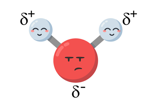 Cartoon depiction of a water molecule. A red oxygen atom with an unhappy face labeled delta negative is attached to two white hydrogen atoms either side of the oxygen atom via two covalent bonds. Both hydrogen atoms have happy faces and are labeled delta positive.